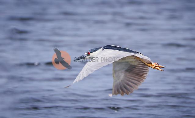 Black-Crowned Night Heron in flight with wings in downstroke, flying over water (Sandra Calderbank, sandra calderbank)