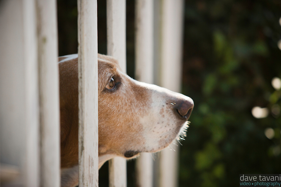 Our basset hound, Elwood, looks through the fence in our front yard. (Dave Tavani)