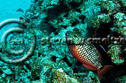 Spotlight Parrotfish Initial Phase, Sparisoma viride, (Bonnaterre, 1788), Grand Cayman (StevenWSmeltzer.com)