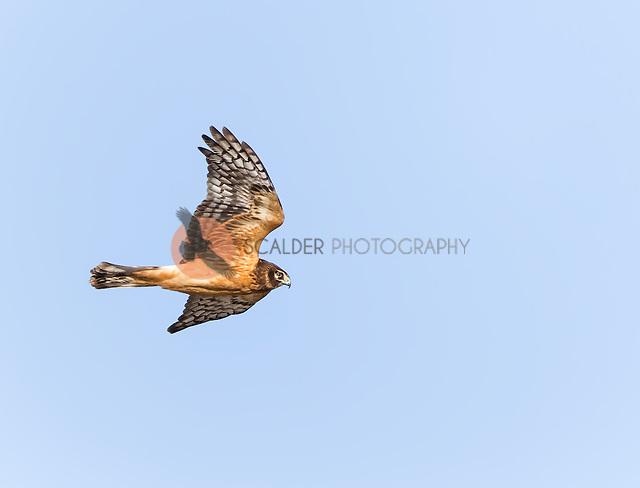 Juvenile Northern Harrier in flight, hunting (sandra calderbank)