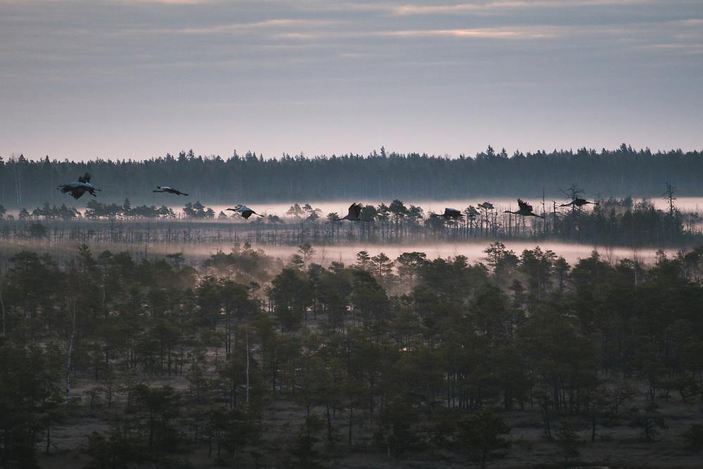 Flock of common cranes (Grus grus) flying over fog covered raised bog, Kemeri National Park (Ķemeru Nacionālais parks), Latvia Ⓒ Davis Ulands | davisulands.com (Davis Ulands/Ⓒ Davis Ulands | davisulands.com)