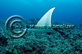 Manta Ray on Reef, Manta birostris, (Walbaum, 1792), Kona Hawaii (Steven W Smeltzer)