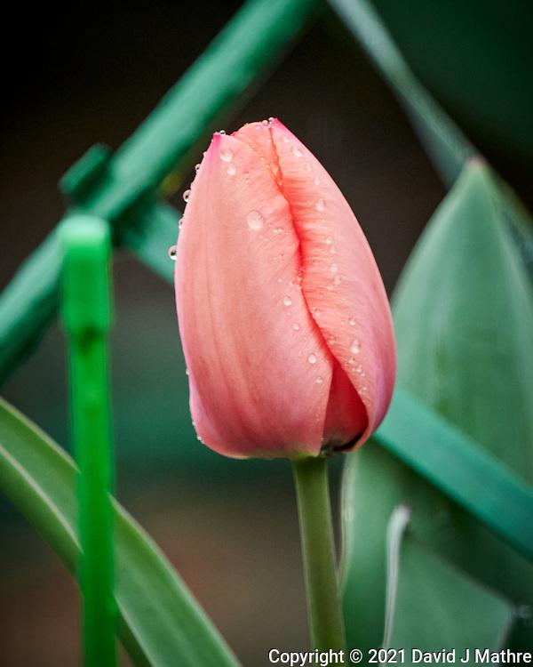 Tulip. (David J Mathre)