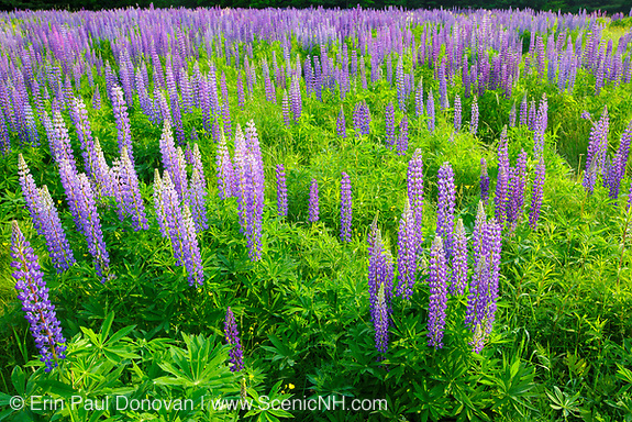 Sugar Hill Lupine Festival - Lupine in Sugar Hill, New Hampshire USA during the spring months.