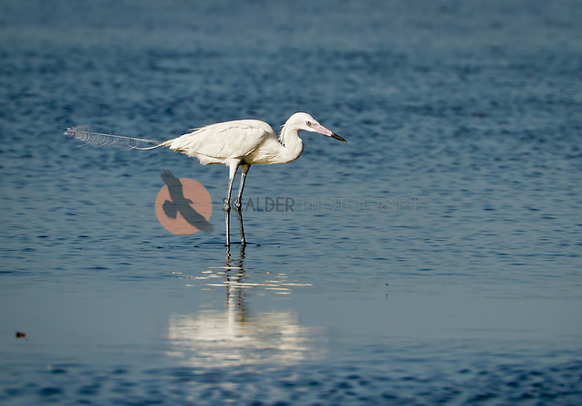 Reddish Egret, Very uncommon White Morph, standing in water at Merritt Island (Sandra Calderbank, sandra calderbank)