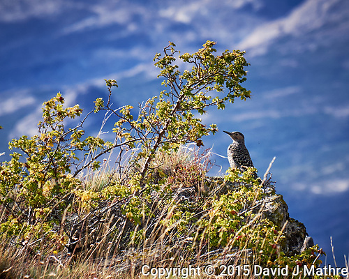 Chilean Flicker. (David J Mathre)