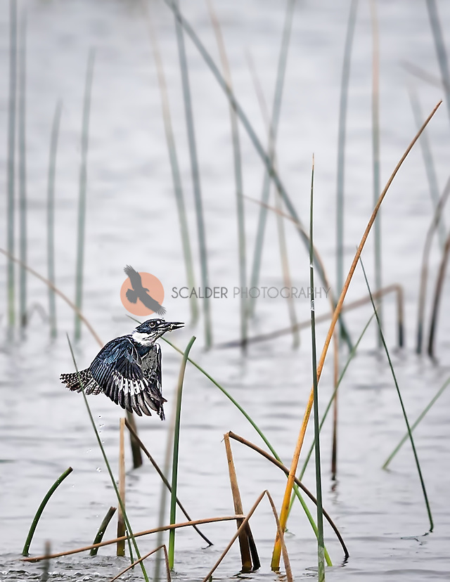 Belted Kingfisher flying out of water after catching a fish with fish in beak (sandra calderbank)