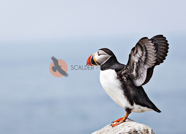 Atlantic Puffin standing on a rock with wings spread in profile (sandra calderbank)
