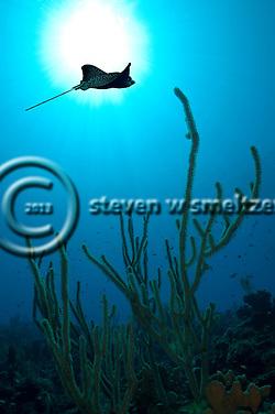 Spotted Eagle Ray, Aetobatus narinari, (Euphrasen, 1790), Andes Wall, Grand Cayman (StevenWSmeltzer.com)