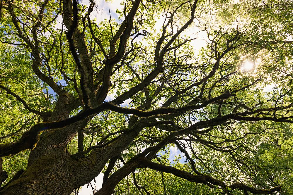 "Sunlight shines through the branches and leafage of large and old oak tree (Quercus robur), ""Nature reserve"" Vidusburtnieks, Latvia Ⓒ Davis Ulands | davisulands.com (Davis Ulands/Ⓒ Davis Ulands | davisulands.com)"