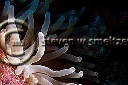 Bubble tip Anemone, Big Tunnels, Grand Cayman (StevenWSmeltzer.com)