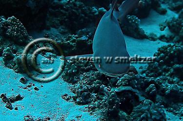 White-tipped reef shark Lanai Hawaii (Steven Smeltzer)