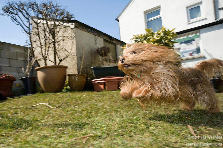 Phydeau, the Harman's dog at their home in Delabole, the UK. (Robert van Waarden)