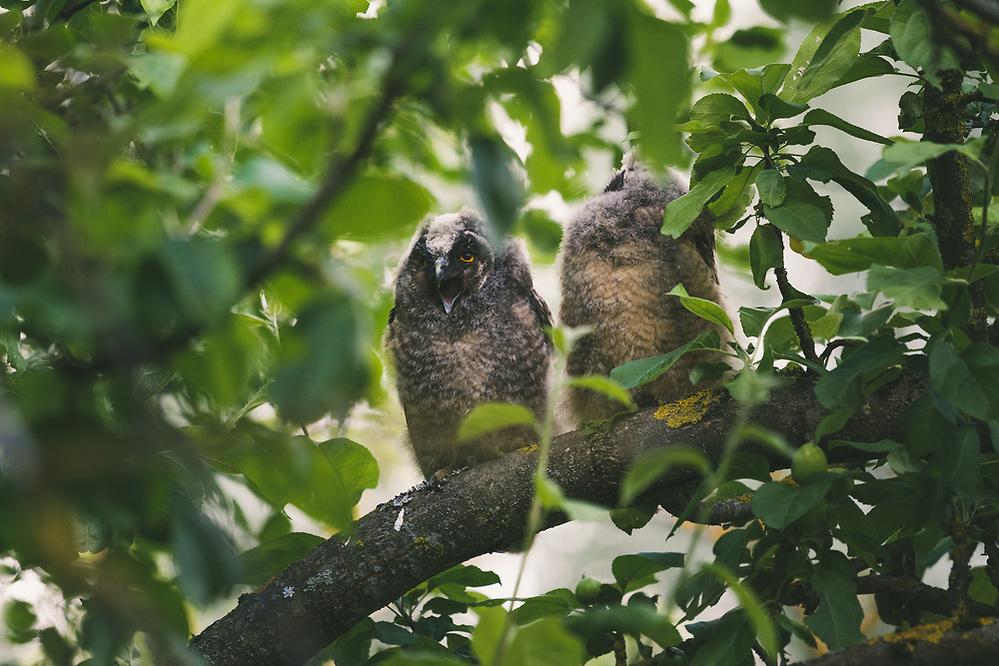 Two long-eared owl (Asio otus) owlets sitting in foliage and squeeking for food, Lazdona, Latvia Ⓒ Davis Ulands | davisulands.com (Davis Ulands/Ⓒ Davis Ulands | davisulands.com)
