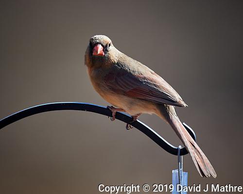 Northern Cardinal. (David J Mathre)