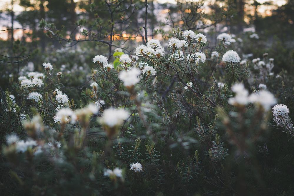 Blooming Bog rosemary (Ledum palustre) in raised bog, Vidzeme, Latvia Ⓒ Davis Ulands | davisulands.com (Davis Ulands/Ⓒ Davis Ulands | davisulands.com)