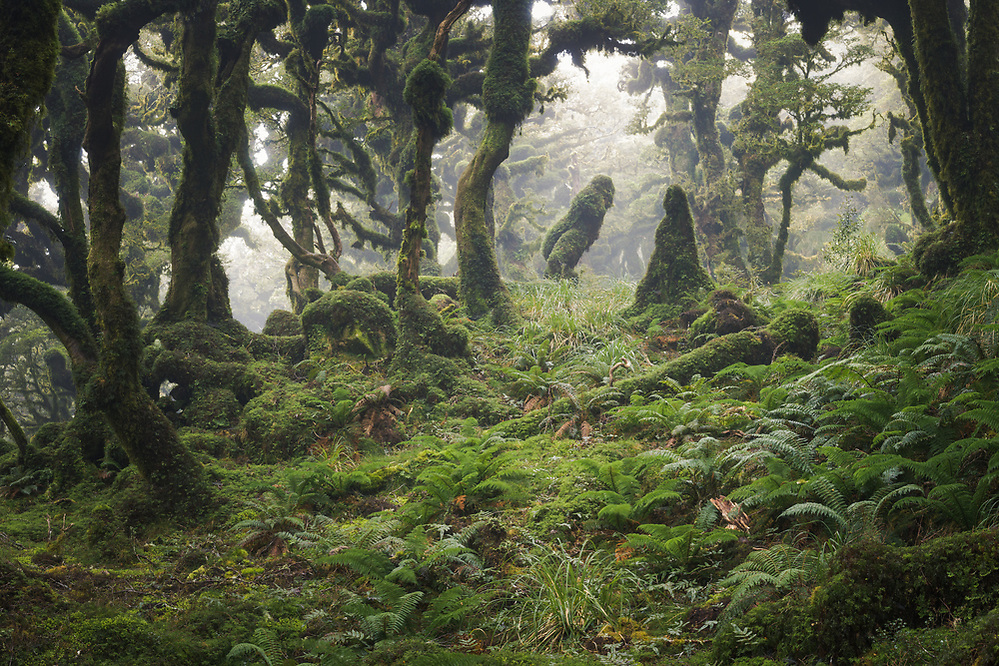 Moss and fog covered cloud forest in Tararua Forest Park, New Zealand Ⓒ Davis Ulands | davisulands.com (Davis Ulands/Ⓒ Davis Ulands | davisulands.com)