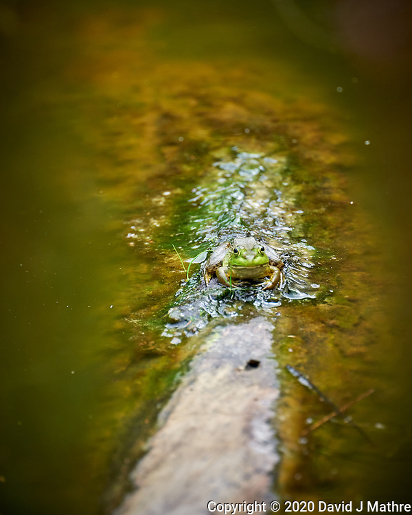 Kermit the Bullfrog on a Log. Image taken with a Leica SL2 camera and 90-280 mm lens (DAVID J MATHRE)