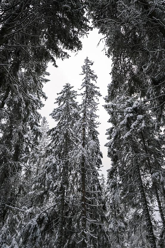 White winter day in spruce (picea abies) forests, near Nītaure, Vidzeme, Latvia Ⓒ Davis Ulands | davisulands.com (Davis Ulands/Ⓒ Davis Ulands | davisulands.com)