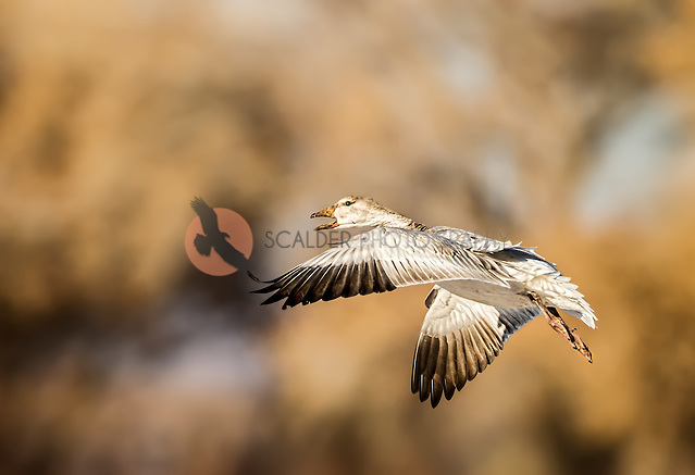 Snow Goose in flight with wings in downstroke, at sunset, beak is open (sandra calderbank)