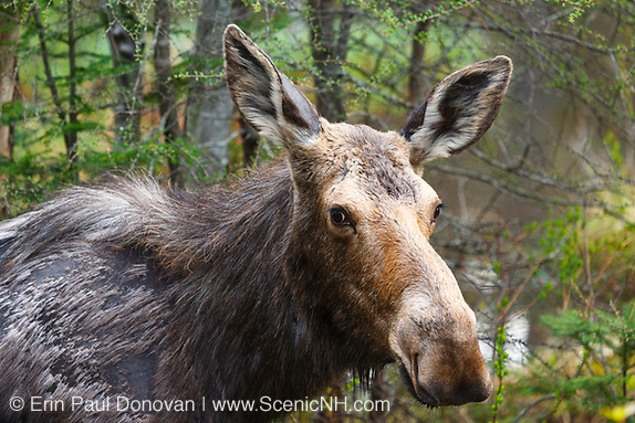 Wildlife, Moose on the side of the Kancamagus Highway in the White Mountains of New Hampshire