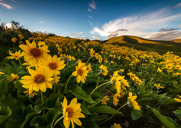 A blanket of yellow balsomroot wildflowers cover the hillside in East Canyon of the Wasatch Mountains near Salt Lake City, Utah. (Clint Losee)