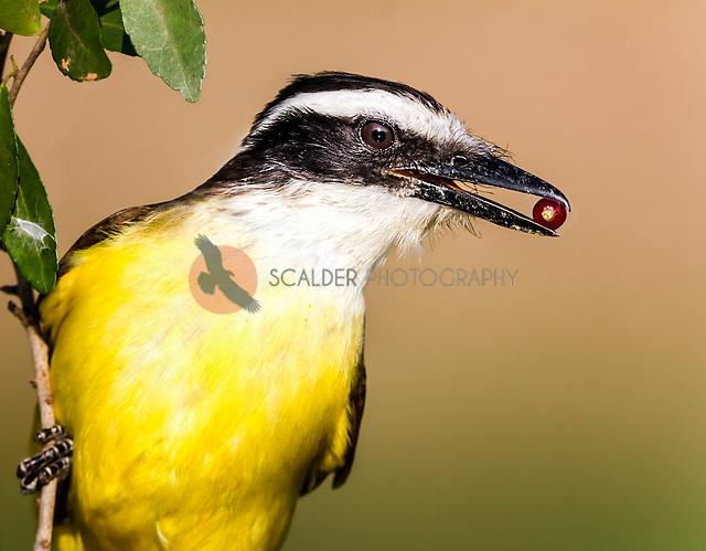 Great Kiskadee head image with red berry in beak (sandra calderbank)
