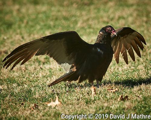 Turkey Vulture. (David J Mathre)