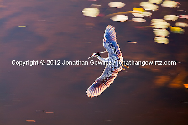 A Yellow-crowned Night Heron (Nyctanassa violacea) flying over a pond in the Shark Valley section of Everglades National Park, Florida. (© 2012 Jonathan Gewirtz / jonathan@gewirtz.net)
