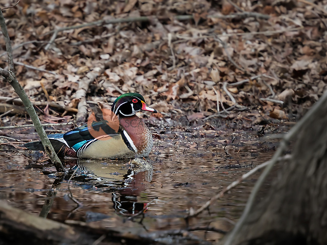 Male Wood Duck swimming in river in woods (SANDRA CALDERBANK, sandra calderbank)