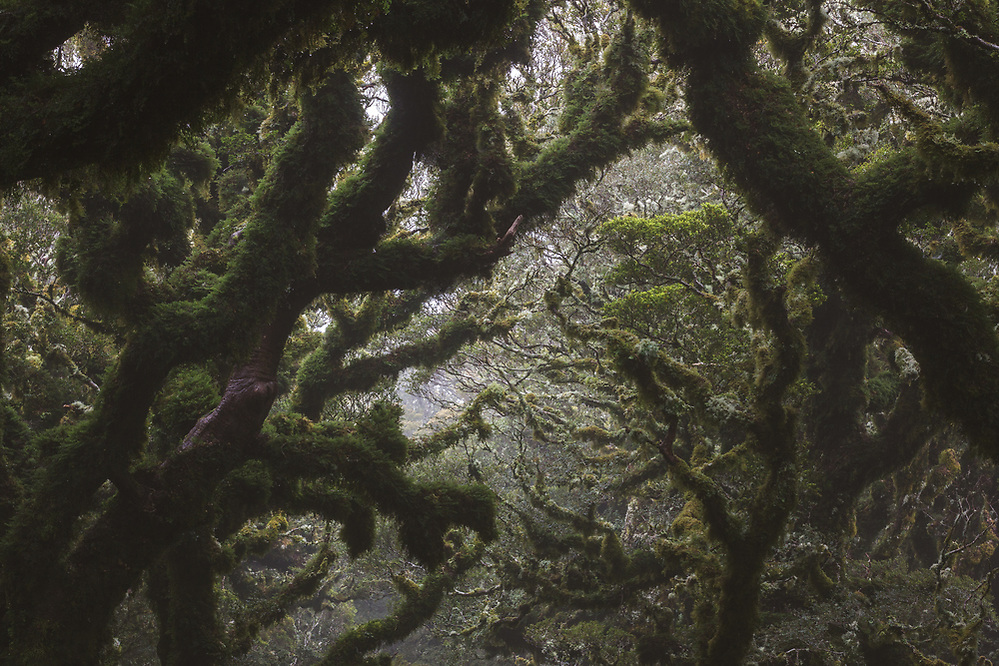 Labyrinth of light, moss and branches in cloud forest, Tararua Forest Park, New Zealand Ⓒ Davis Ulands | davisulands.com (Davis Ulands/Ⓒ Davis Ulands | davisulands.com)