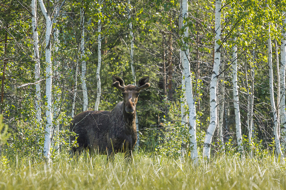 "Moose bull (Alces alces) in summer standing in fen, still a while for its antlers to grow, nature reserve ""Augstroze"", Latvia Ⓒ Davis Ulands 