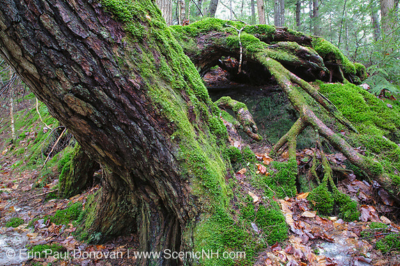 Moss covered pine tree in a New Hampshire forest during the spring months (Erin Paul Donovan/Erin Paul Donovan | ScenicNH.com Photography)