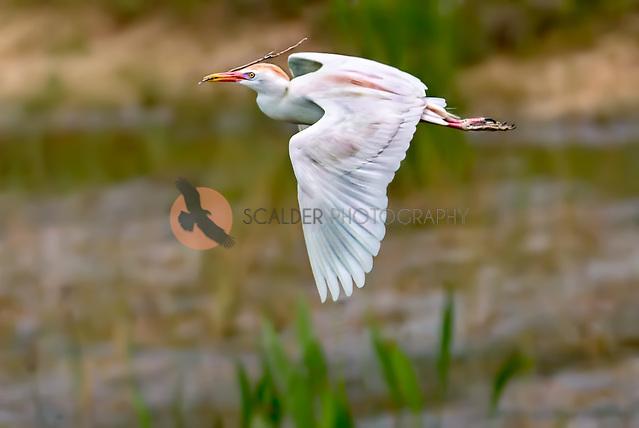 Cattle Egret in breeding colors, in flight with nesting stick (Sandra Calderbank, sandra calderbank)