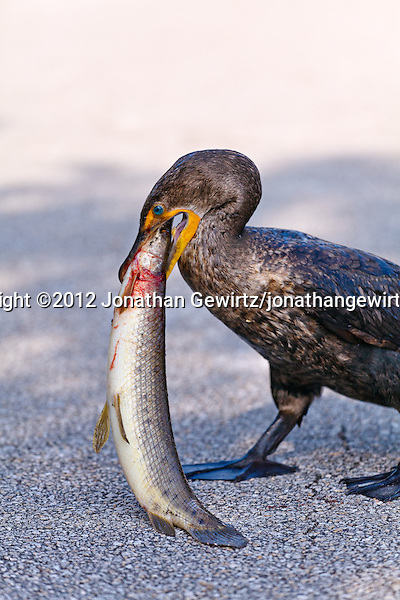 A Double-crested Cormorant (Phalacrocorax auritus) eats a fish that is almost as big as the cormorant is. Anhinga Trail, Everglades National Park, Florida. (© 2012 Jonathan Gewirtz / jonathan@gewirtz.net)