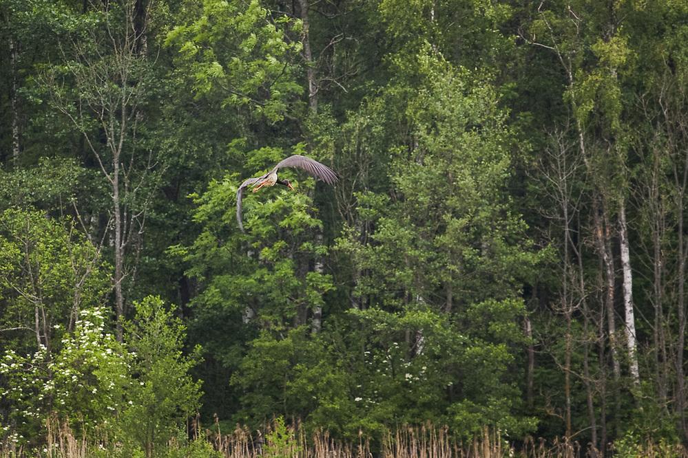Black stork (Ciconia nigra) in flight, Ķemeri National Park, Latvia Ⓒ Davis Ulands | davisulands.com (Davis Ulands/Ⓒ Davis Ulands | davisulands.com)