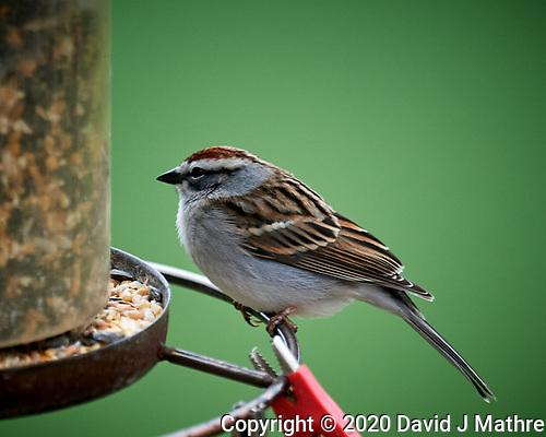 Chipping Sparrow. (David J Mathre)