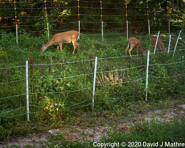 Doe and two fawns with spots. Image taken with a Leica CL camera and 18 mm f/2.8 lens (DAVID J MATHRE)
