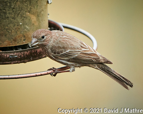 Female House Finch. (David J Mathre)