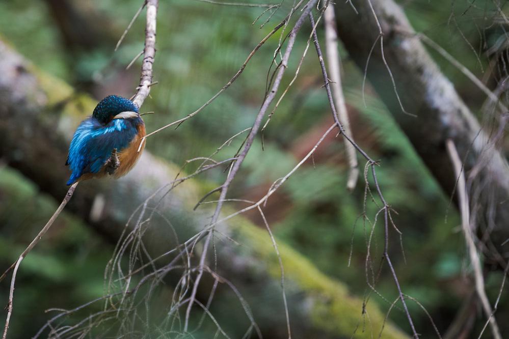 Sleeping kingfisher (Alcedo atthis) in branches of dead spruce just over small stream, Gauja National Park (Gaujas Nacionālais parks), Latvia Ⓒ Davis Ulands | davisulands.com (Davis Ulands/Ⓒ Davis Ulands | davisulands.com)