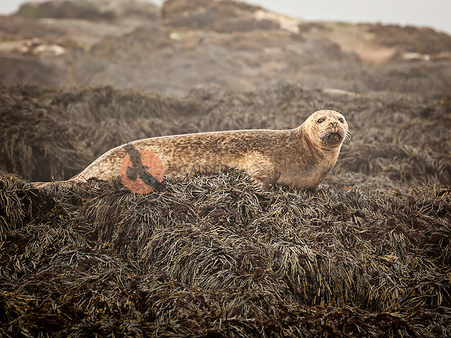 Harbor Seal lying on small island off coast of Machias Seal Island, Maine (sandra calderbank)