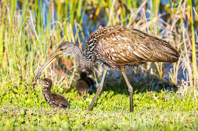 Adult Limpkin transferring an apple snail to it's downy chick with beak opren (SandraCalderbank, sandra calderbank)