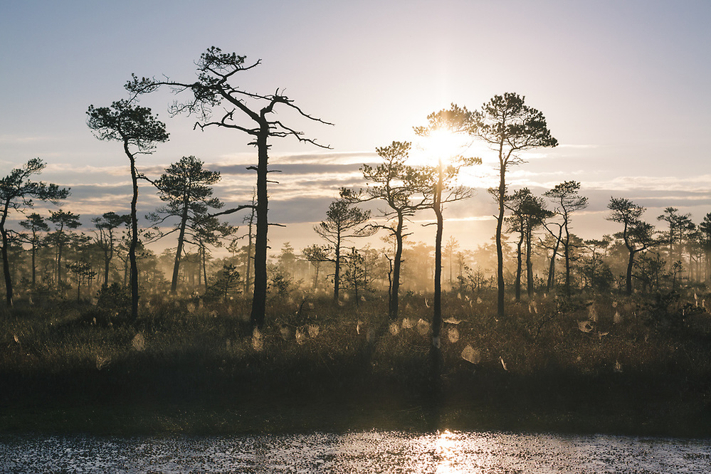 "A foggy landscape of raised bog in sunrise with dark silhouettes of scots pines and brightly lit spider webs, nature reserve ""Dzelves-Kroņa purvs"", Latvia Ⓒ Davis Ulands 
