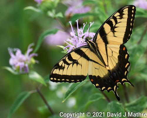 Eastern Tiger Swallowtail. (David J Mathre)