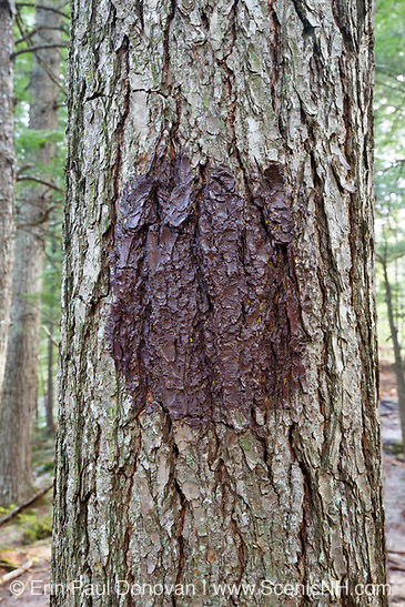 A yellow trail blaze that has been properly covered up with brown paint at Step Falls Nature Preserve in Newry, Maine USA. Acquired in 1962,  Step Falls was The Nature Conservancy's first preserve in Maine.