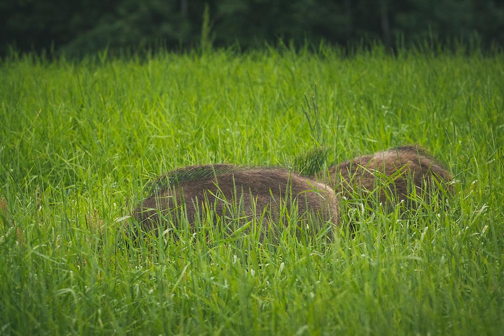 Pair of wild boar (Sus scrofa) feeding in meadow, Northern Vidzeme, Latvia Ⓒ Davis Ulands   davisulands.com (Davis Ulands/Ⓒ Davis Ulands   davisulands.com)