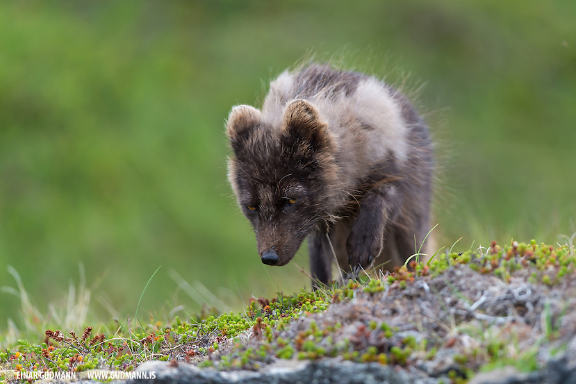 Wild Arctic fox in Iceland. Sometimes called mountain-fox. (Einar Gudmann)
