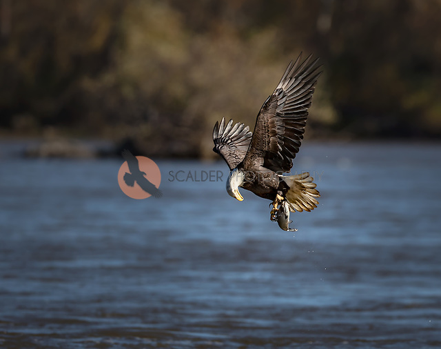 Adult Bald Eaglewith fish in talons, liftininf off from water, looking down at fish (SandraCalderbank, sandra calderbank)