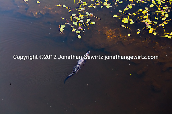 An American alligator (Alligator mississippiensis) swims from deeper water to a shallow area covered by lily pads in a pond in the Shark Valley section of Everglades National Park, Florida. (© Jonathan Gewirtz, jonathan@gewirtz.net)