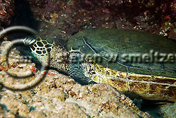 Green Sea Turtle, Chelonia mydas, (Linnaeus, 1758), Maui Hawaii (Steven Smeltzer)